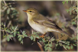 Willow-Warbler-2-web.jpg