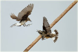 Wheatear attacks Whinchat