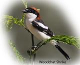 Shrike Masked