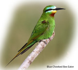 Bee eater Blue Cheeked