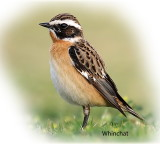 Chat Whinchat