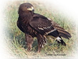 Eagle Greater Spotted
