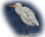 Egret Cattle