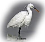 Egret Little