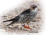 Falcon Amur