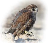 Falcon Peregrine