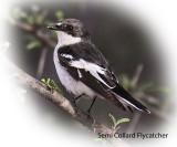 Flycatcher Semi Collard