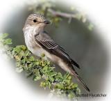 Flycatcher Spotted