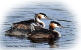 Grebe great Crested Family