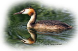 Grebe Great Crested