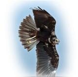 Harrier Marsh Female