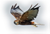 Harrier Marsh Male