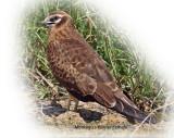 Harrier Montagus Female