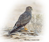 Harrier Montagus Male