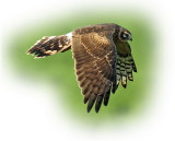Harrier Pallid Female