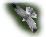Harrier Pallid Male