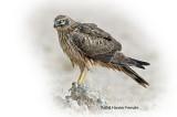 Harrier Pallied Female