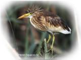 Heron Squacco Jv