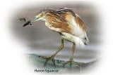 Heron Squacco