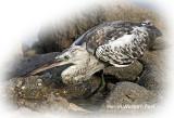 Heron Western