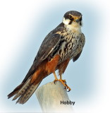 Falcon Hobby