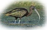 Ibis Glossy