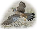 Kestrel Common Male