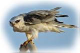 Kite Black Winged