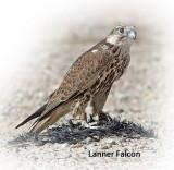 Falcon Lanner