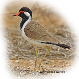 Lapwing Red Wattled