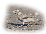 Lark Black Crowned Sparrow Female