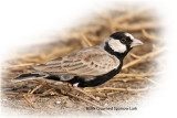 Lark Black Crowned Sparrow Male
