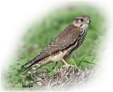 Falcon Merlin