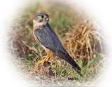 Falcon Merlin Male