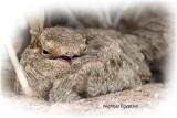Nightjar Egyptian