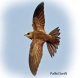 Swift Pallid