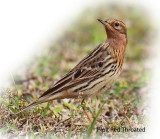 Pipit Red Throated
