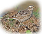 Pipit Water