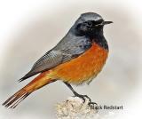 Redstart Black Male