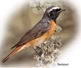 Redstart Common Male