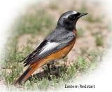 Redstart Eastern