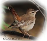 Robin Rufous Tailed