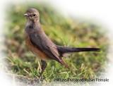 Robin White Throated female