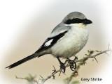 Shrike Grey