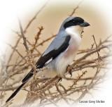 Shrike Lesser Grey