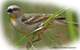 Sparrow Yellow throated