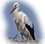 Stork White
