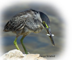 Heron Striated
