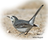 Wagtail White