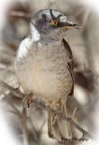 Warbler Barred